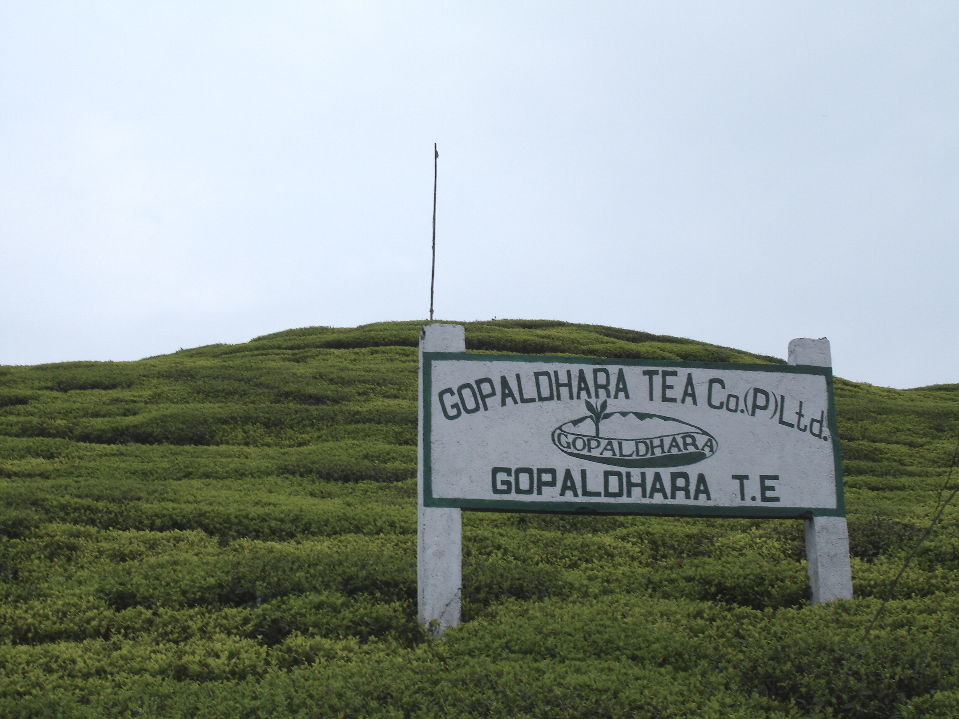 Gopaldhara Tea Estate – Pinnacle of the Finest Darjeeling Tea Horizon
