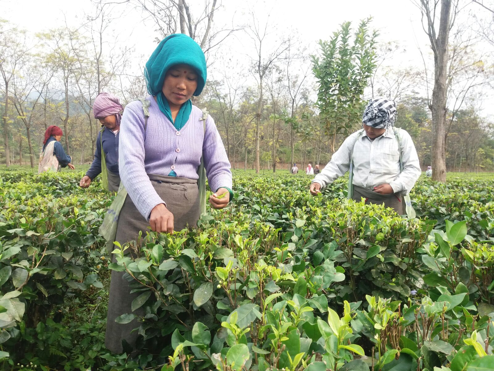Rohini Tea Estate – The Youngest Tea Estate of Darjeeling
